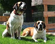 Museum der Bernhardiner Hunde