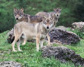 Tierpark_Goldau_Woelfe_43.jpg